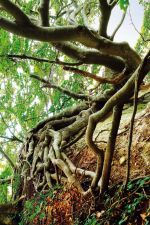 Beech tree roots on the chalk cliffs Caption: Beech tree roots on the chalk cliffs within the Jasmund area
