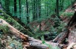 Primeval beech forest in the World Natural Heritage areas of the Carpathians Caption: Deadwood in the primeval beech forest