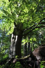 Old beech at the Mellbach Caption: Old beech in a forest landscape